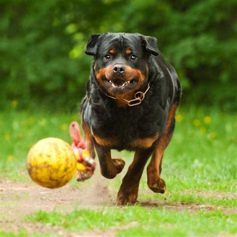 brown rottweiler get to the rottweiler ready and friendly