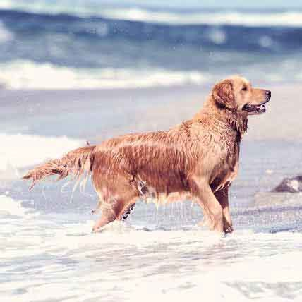 golden retriever health issues 10 tumors detectable on the skin vet approved