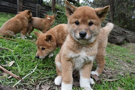 dingo puppy meet 5 new dingo puppies born at the australian reptile park australian geographic