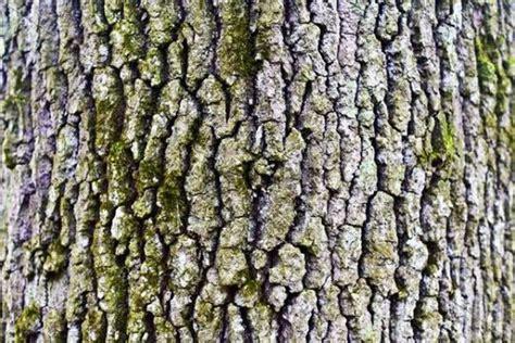 Rinde Der Eiche by Stamm Rinde Einer Eiche Quercus Runterladen Photos