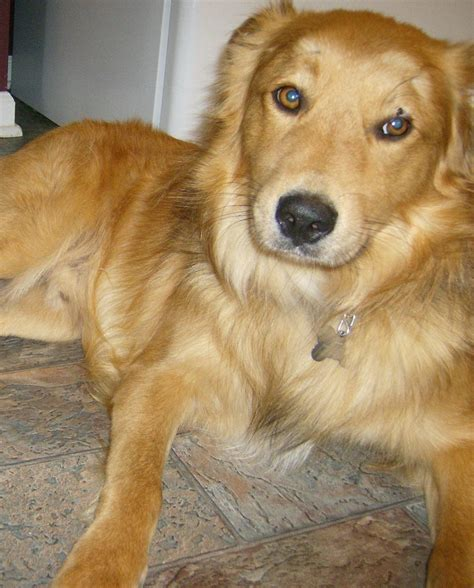 australian shepherd mix with golden retriever australian shepherd golden retriever mix pictures breeds picture