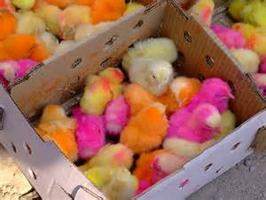 places that sell colored contacts techno colored chickens from pakistan fotoark