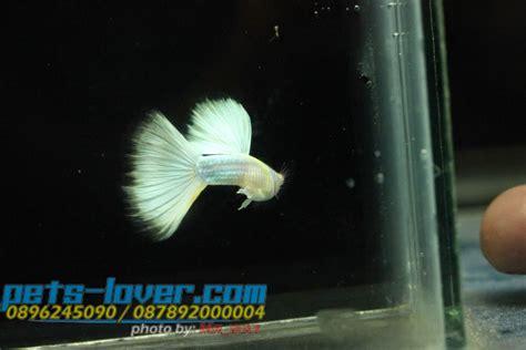 Ikan Guppy Black Moscow Black Betina terbaik hewan indonesia dan jual beli