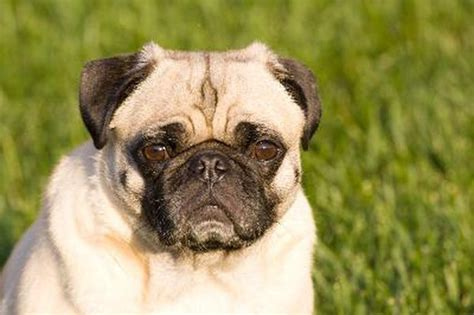 pugs that don t shed how to minimize shedding in pugs pets