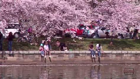cherry blossom festival dc cherry blossom festival in washington dc