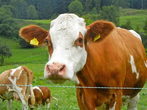 brown and white white cow www pixshark images galleries with a bite