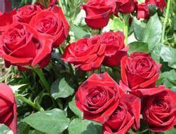 un jardin de rosas rojas el jard 237 n de mis rosas las rosas rojas