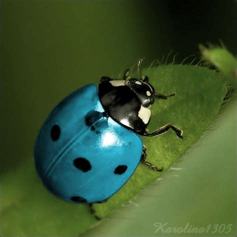 colors of ladybugs blue ladybug blue ladybug by karolina1305 on deviantart