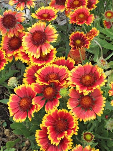 top fall flowers for your garden perennials plants and 25 top easy care plants for midwest gardens midwest living