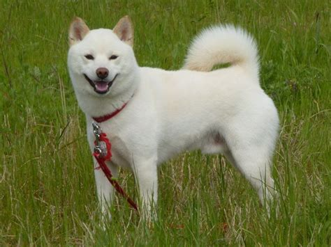 all about the shiba inu siro shiba shiba inu the free encyclopedia