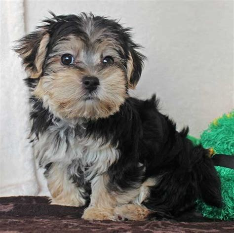 morkies wikipedia morkie puppies for sale morkie puppies for sale in ohio