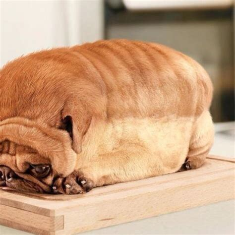 can pugs eat cheese best 25 pug bread ideas on pugs pugs and pug puppies