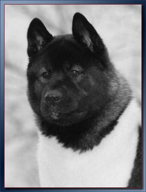 akita puppies for sale craigslist craigslist ridgeback puppies breeds picture