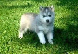 pomsky puppy for sale pomsky puppies for sale
