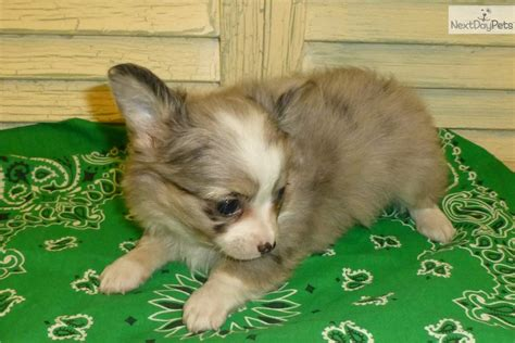 chihuahua puppies for sale in oklahoma haired chihuahua puppies for sale in oklahoma images