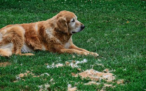 golden retriever grooming guide golden retriever grooming needs dogs our friends photo