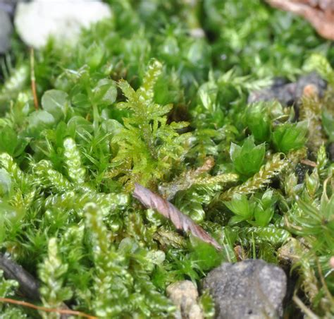 how many types of mosses are there moss musings inviting moss diversity on green roofs