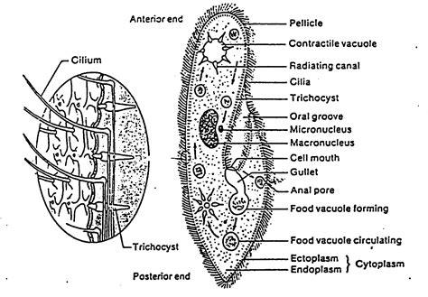 diagram of paramecium paramecium teacherschoice