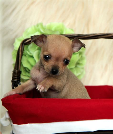 teacup pomeranian how big do they get how big do micro teacup chihuahuas get breeds picture