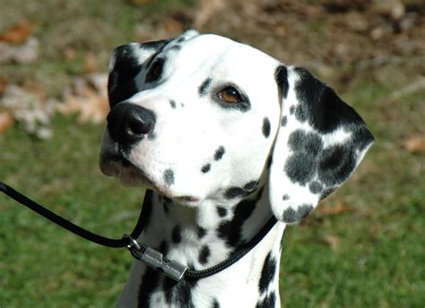 puppy dalmatian dalmatian puppy wanted coulsdon surrey pets4homes