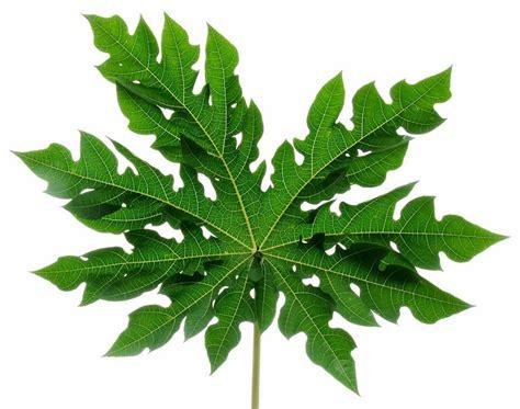 wallpaper bumbu dapur manfaat daun pepaya untuk kesehatan sebayang online