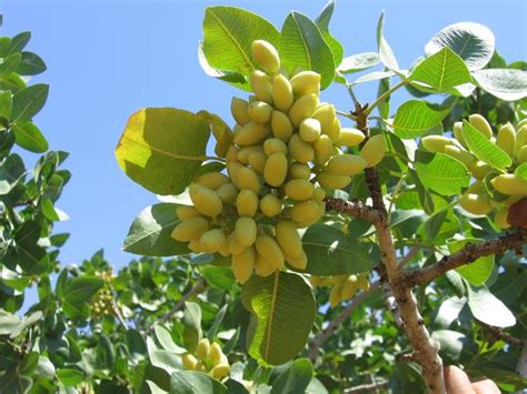 Kacang Pistachio pistachio tree pictures images photos facts on pistachio trees