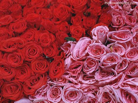 red and pink flower expert red and pink roses image