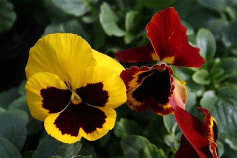 fiori invernali per giardino fiori invernali da balcone piante da giardino fiori