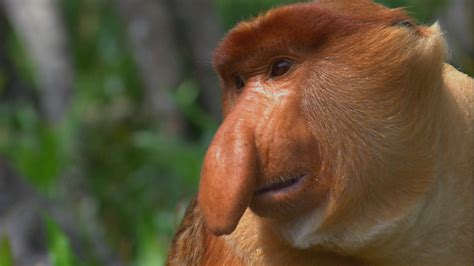 with big nose why the big nose nat geo