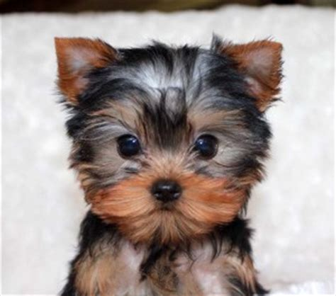 teacup yorkie puppies price range micro teacup yorkie puppy for sale iheartteacups