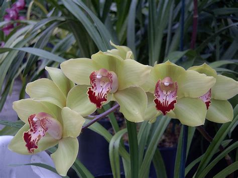 orchid care archive cymbidium orchid