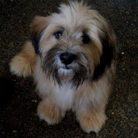 shih tzu half poodle half poodle half shih tzu breeds picture breeds picture
