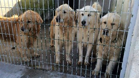 golden retrievers in turkey 36 golden retrievers rescued from streets of turkey mnn nature network