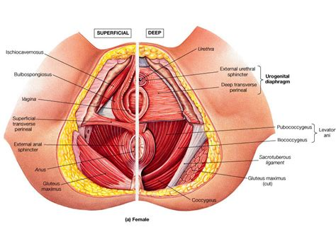 Tight Pelvic Floor Muscles by Identification