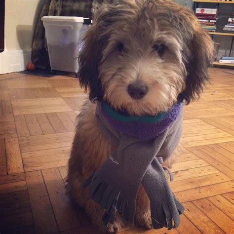 goldendoodle puppy crate 9 best images about 2014 goldendoodle puppies on