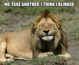 lion love meme funny curious cats and friends pinterest i want