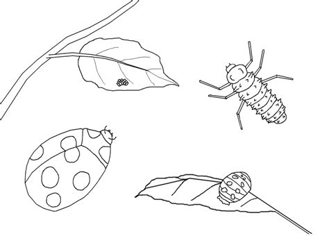 ladybug life cycle coloring page free life cycle coloring pages stuwahacreations