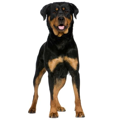 black and rust rottweiler rottweiler breed 187 information pictures more