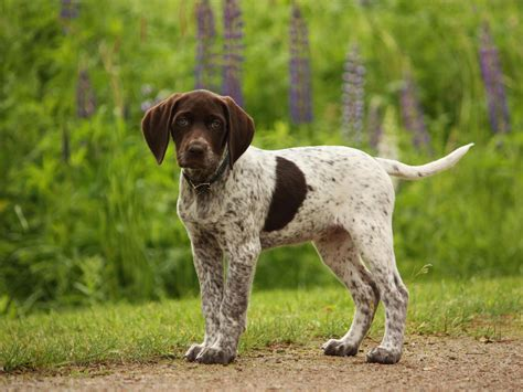 gsp puppy german shorthaired pointer my rocks