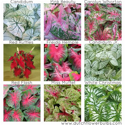 buy flower bulbs caladiums