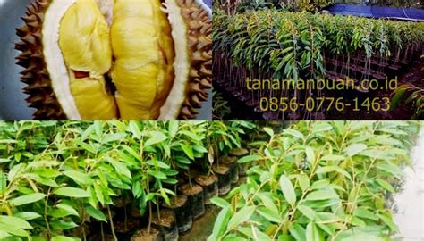 Bibit Durian Bawor Di Jogja harga bibit durian musang king jogja bibit durian musang
