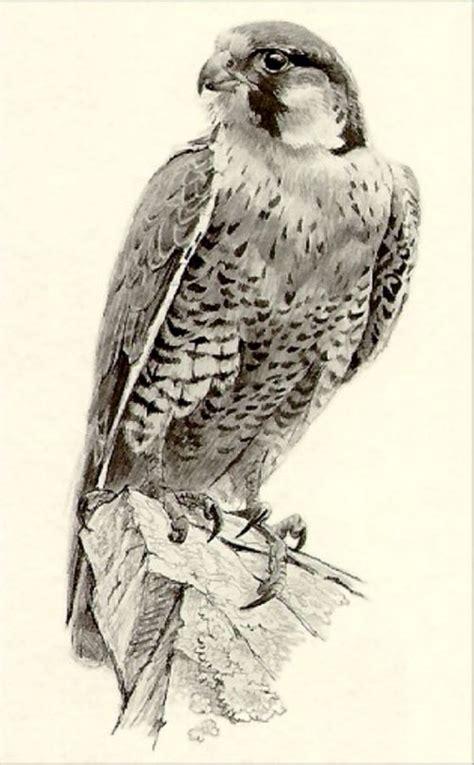 peregrine falcon tattoo designs robert bateman painting tips birds bird drawings