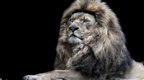wallpaper black lion lion wallpapers best wallpapers