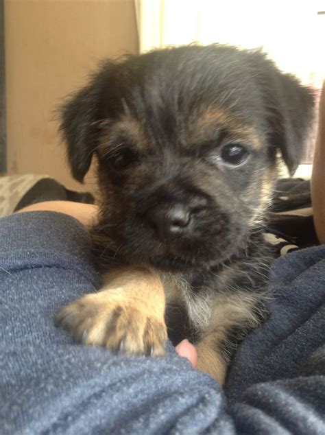 border terrier puppies for sale border terrier puppies for sale oldham greater manchester pets4homes