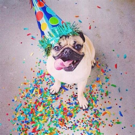 birthday pugs birthday pug animals birthday pug birthdays and animal