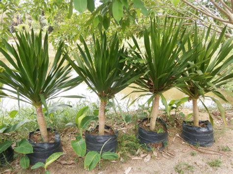yucca palme für draußen yucca palme die teuerste pflanze im garten