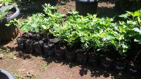 Bibit Mangga Alpukat Semarang jual bibit tin ara fig mijen semarang bibit buah kesayangan