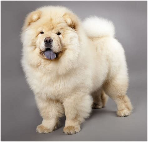 chow chow puppy price chow chow facts for pictures puppies temperament breeders price animals adda