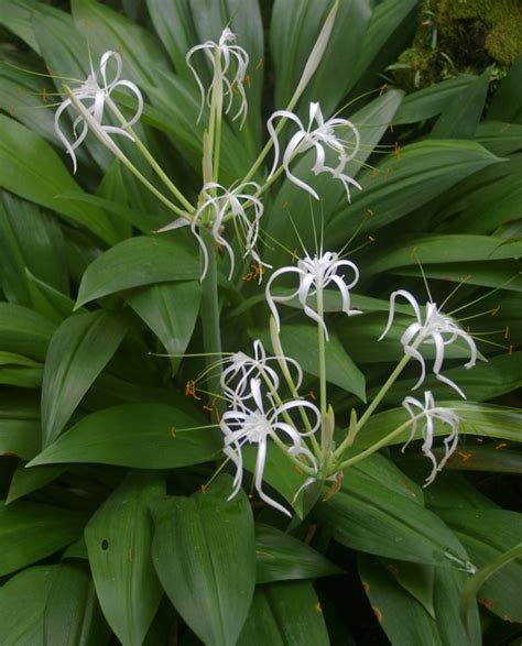 Spider Plant hymenocallis tubiflora sng2 12 10431 gardendrum