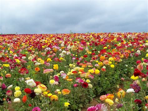 Flower Garden Carlsbad 1000 Images About Flower Fields On